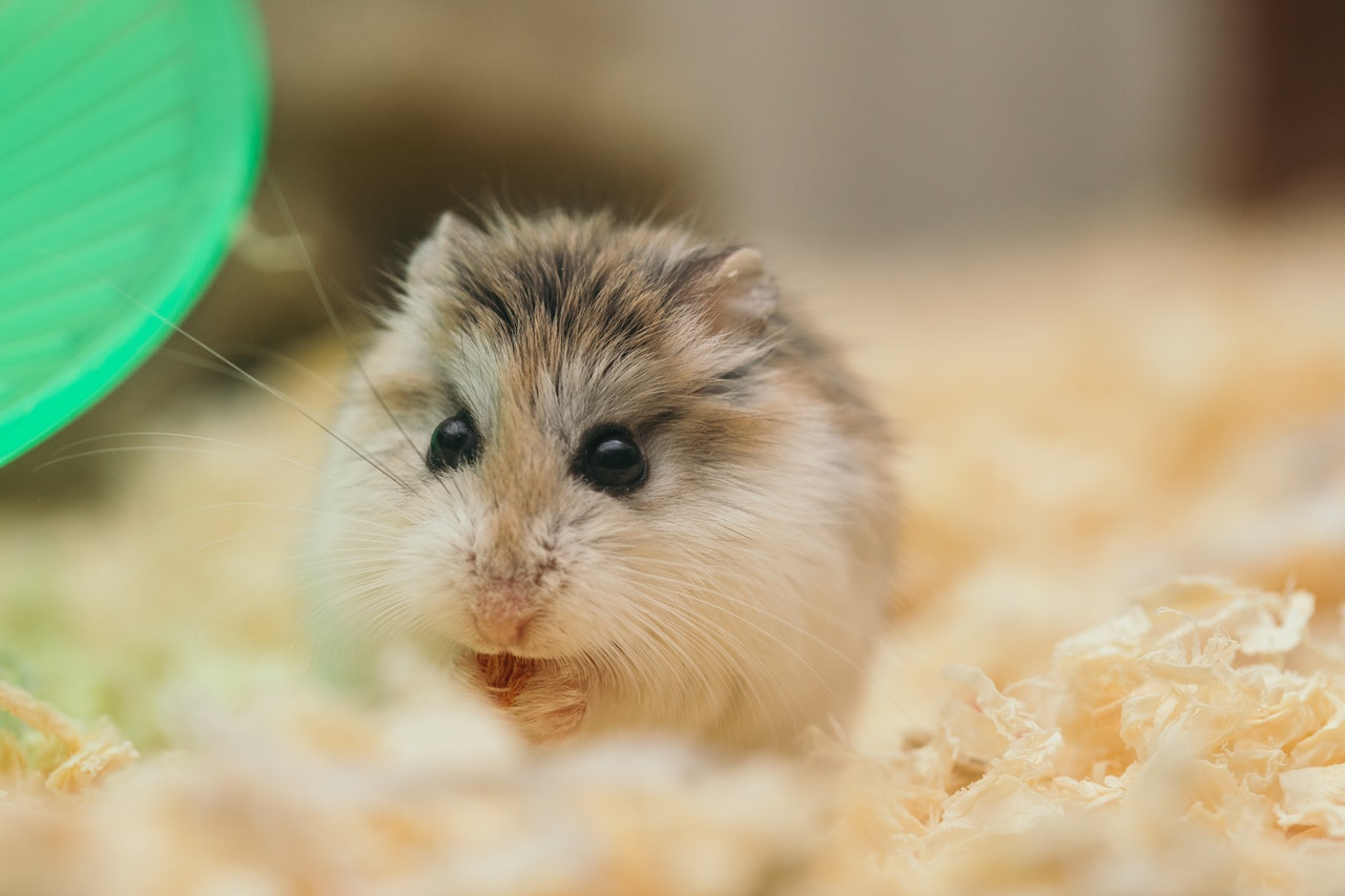 A close up on a hamster with brown and black fur on its black and a white belly. It holds a small seed that it is nibbling on. To the left s the edge of a green running wheel. The hamster stands on fluffy substrate.