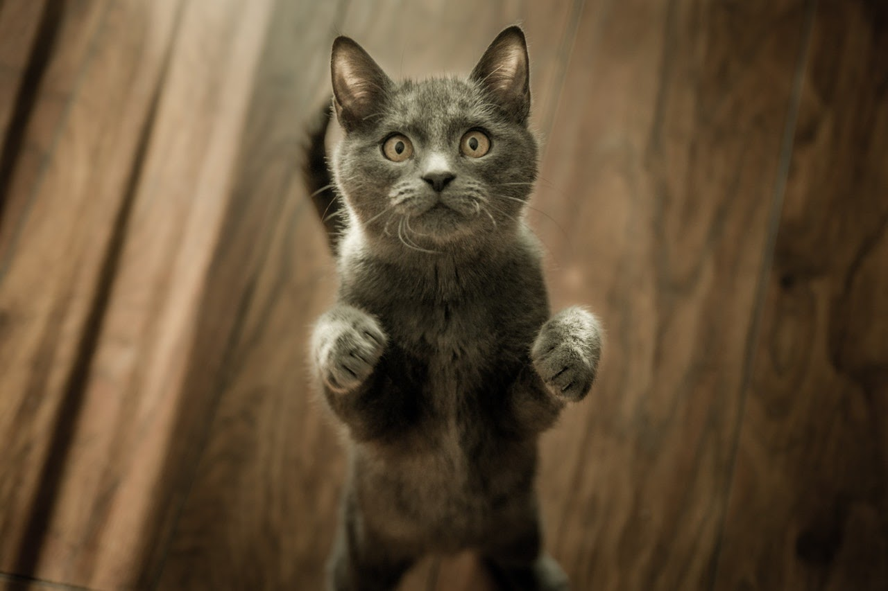 A gray cat with yellow eyes stands up on its hind legs with its front paws out at the camera.