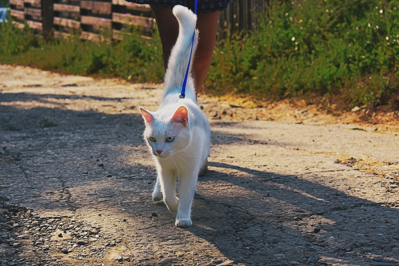 A white cat with one green eye and one blue walks on a blue leash.