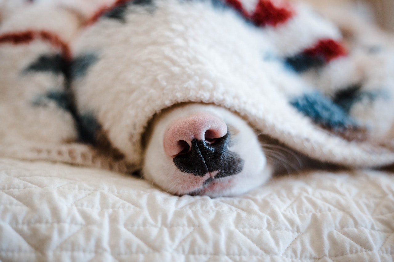 A black and pink dog nose pokes out from under a fleece blanket on a bed.