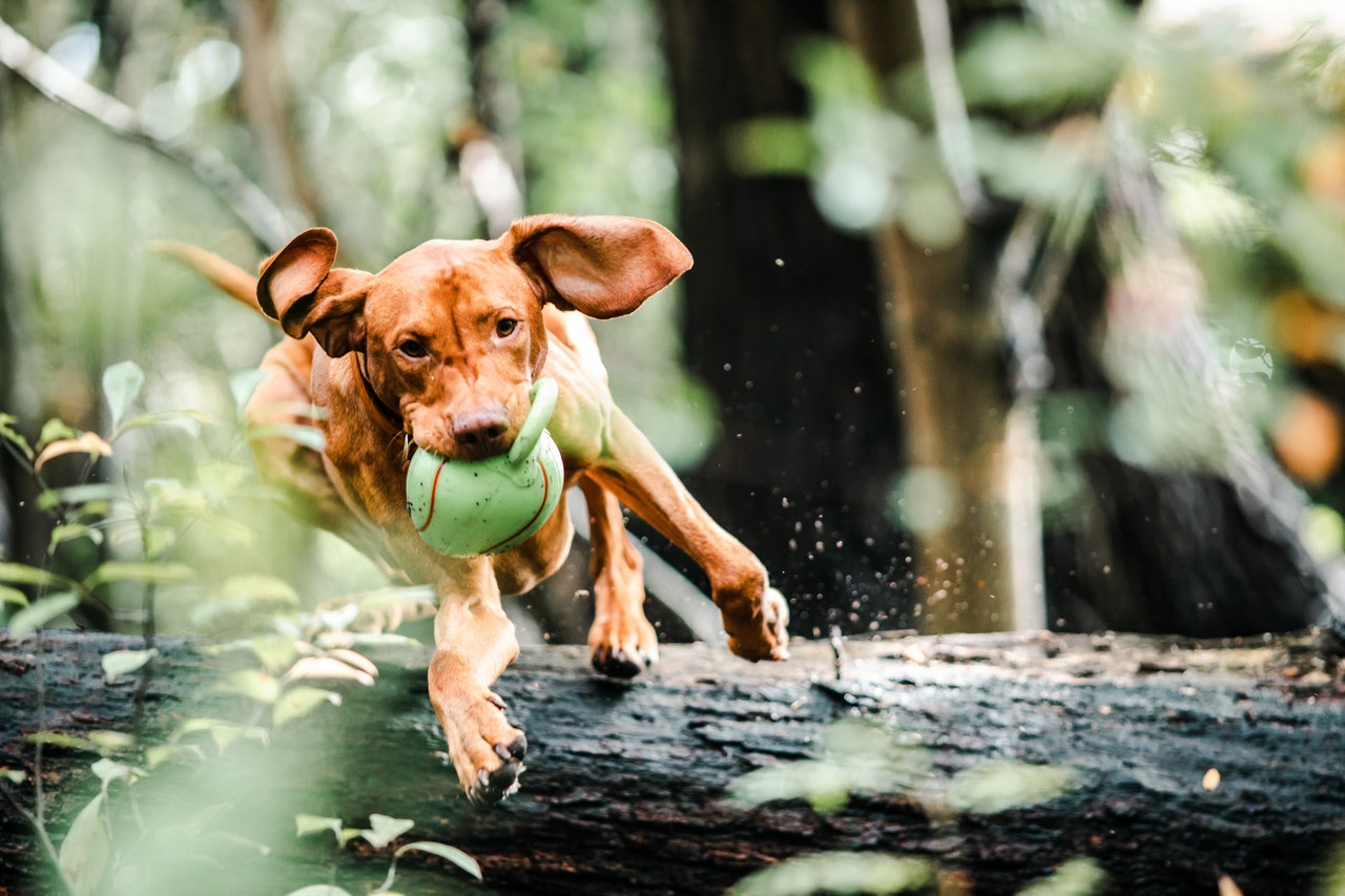 A reddish brown dog is shown in motion, leaping over a log. It holds a large chew toy in its mouth.