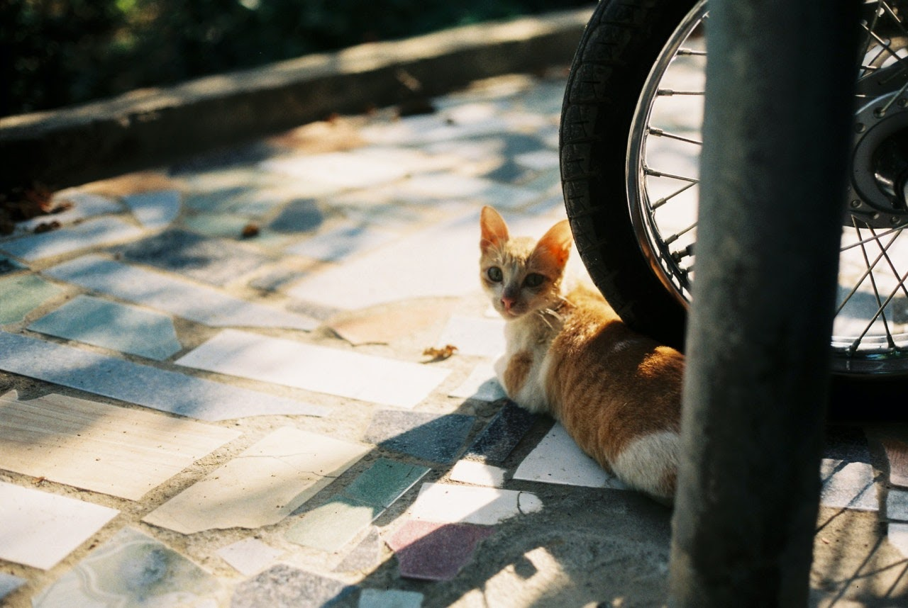 A yellow and white cat lays down underneath a bike tire.