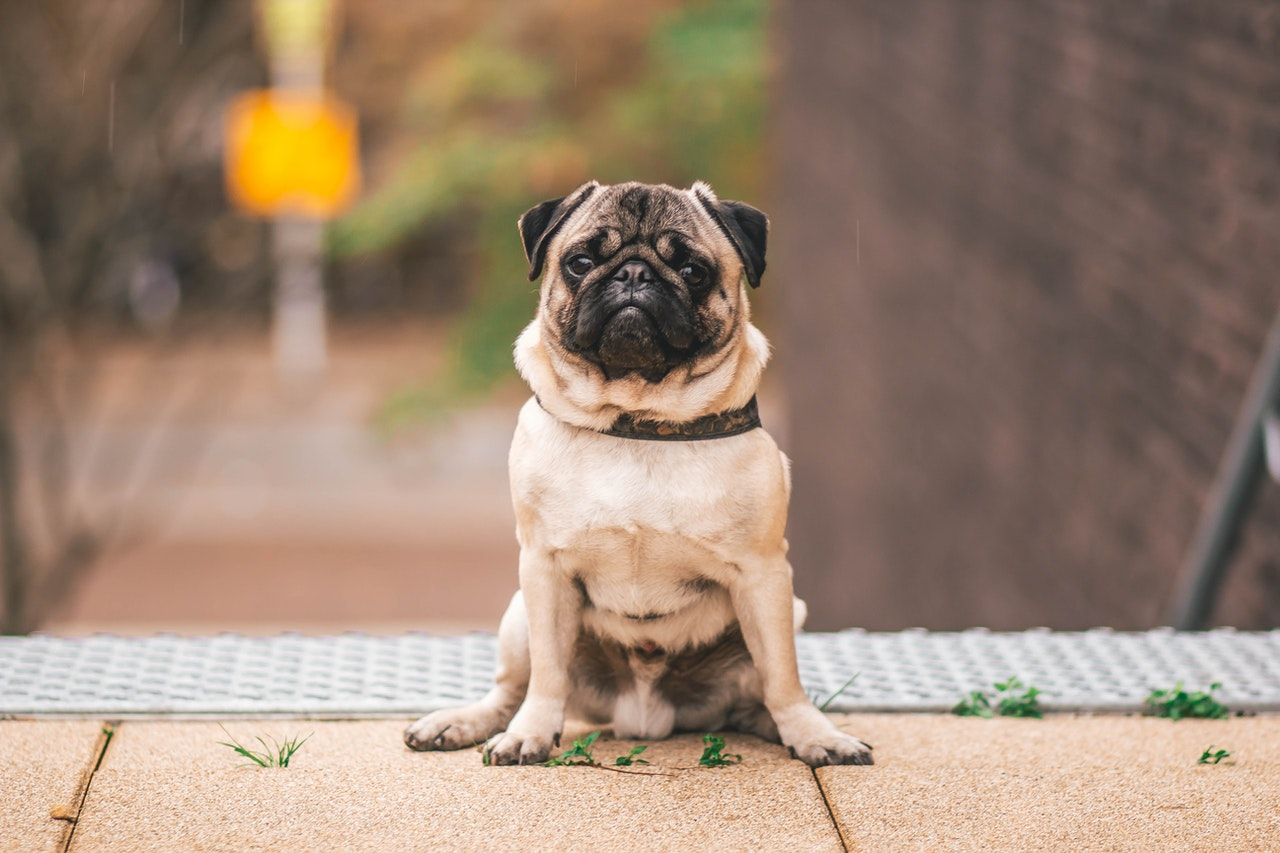 A pug sits at the top of a set of outdoor stairs. It is looking directly at the photographer.