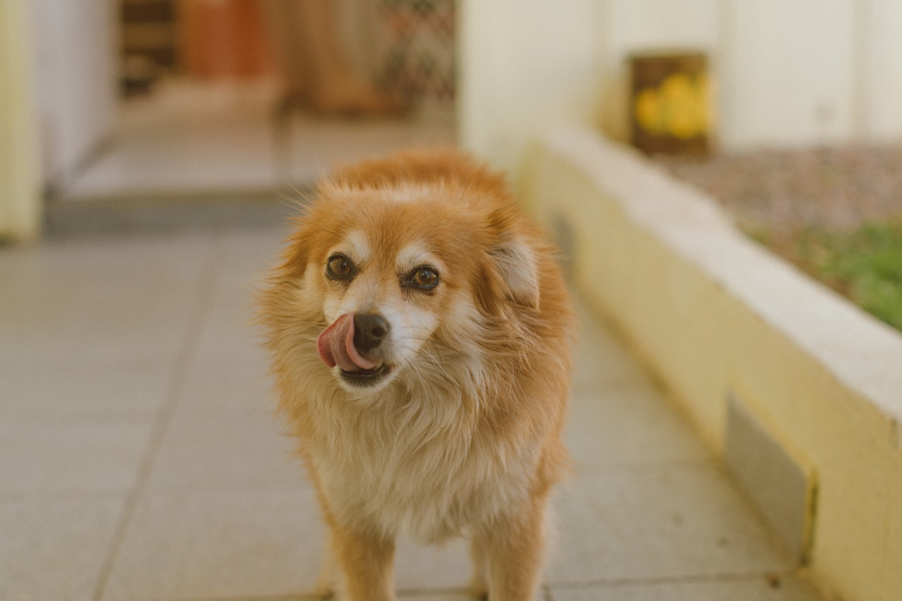 A small yellow dog with white on its eyebrows, muzzle, and chest stands outside. It looks at the photographer as its tongue licks its nose.