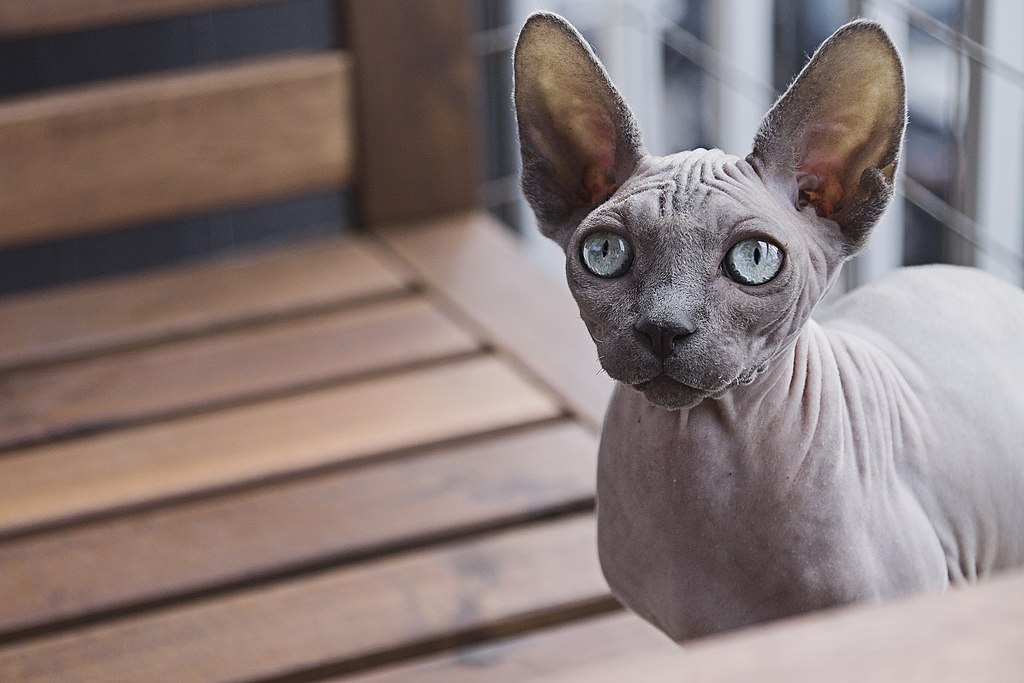 Do's And Don'ts For Your Hairless Cat's Skincare Routine In The Summertime