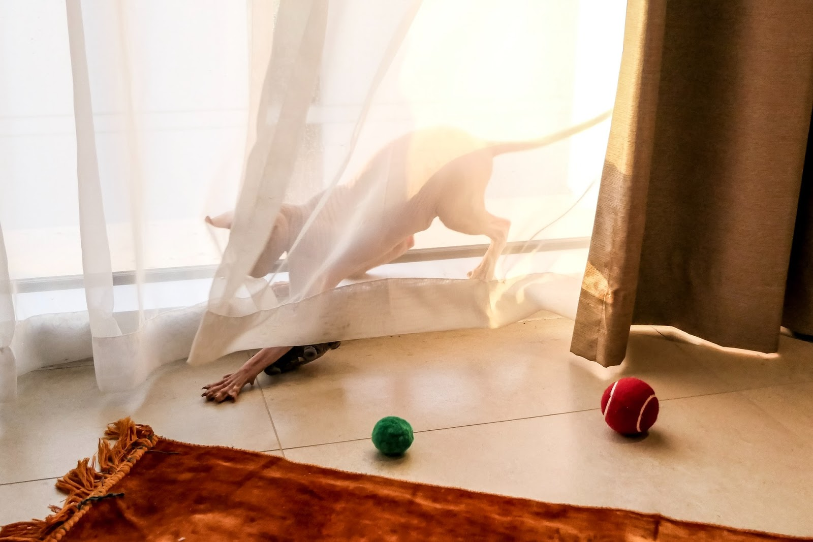 A hairless cat plays with a toy behind a sheer curtain.