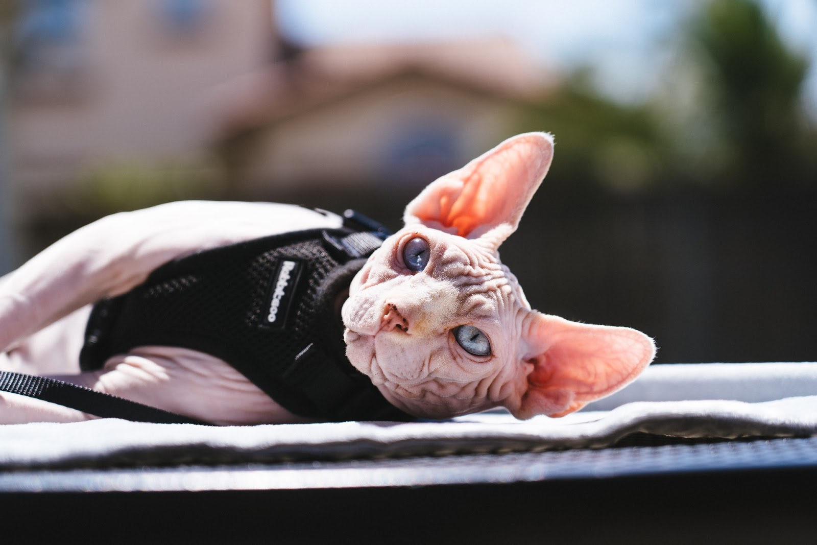 A pink hairless cat lounges in the sun with a halter on.