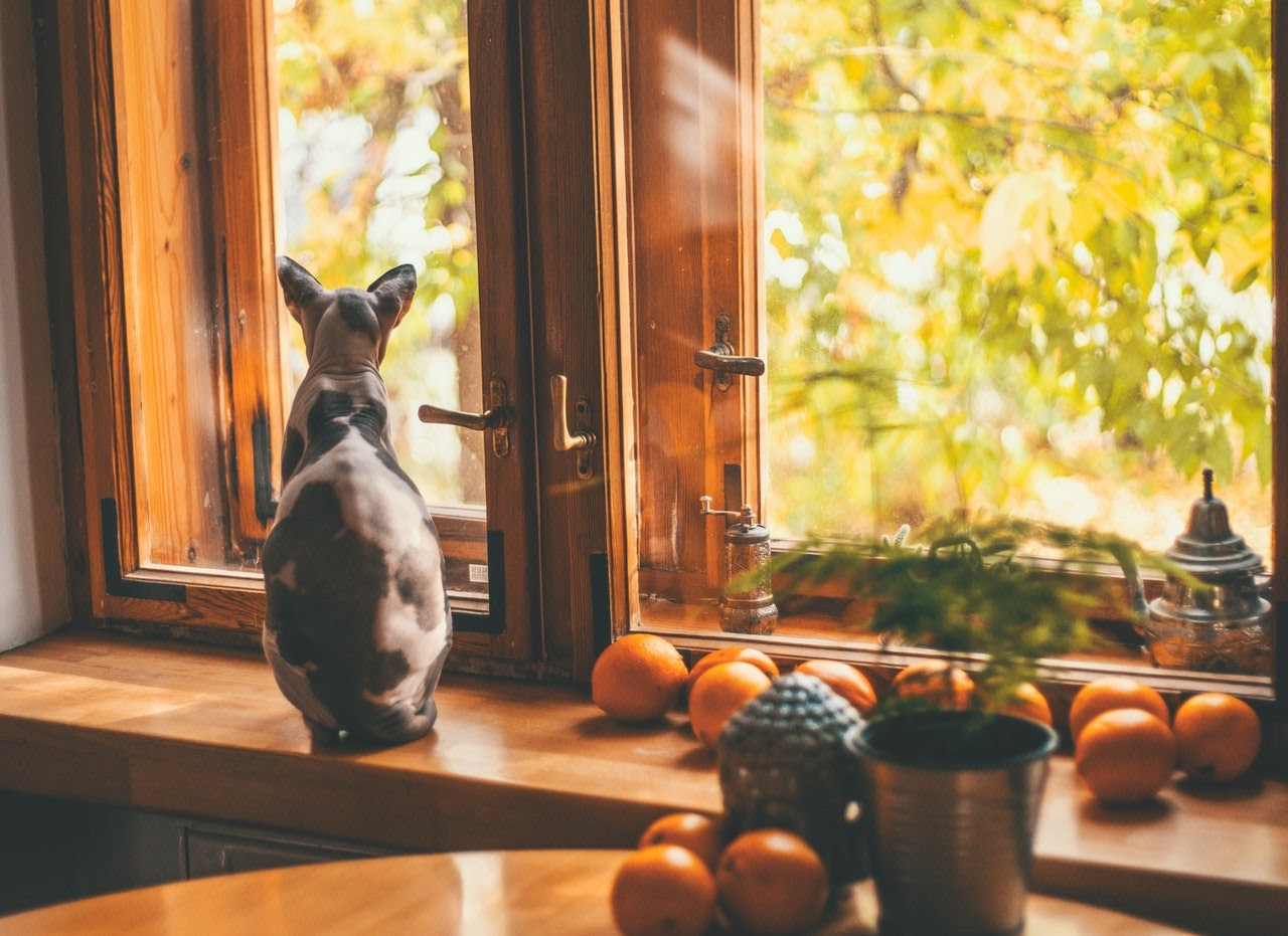 A black and pink hairless cat looks outside a window. There are oranges on the windowsill.