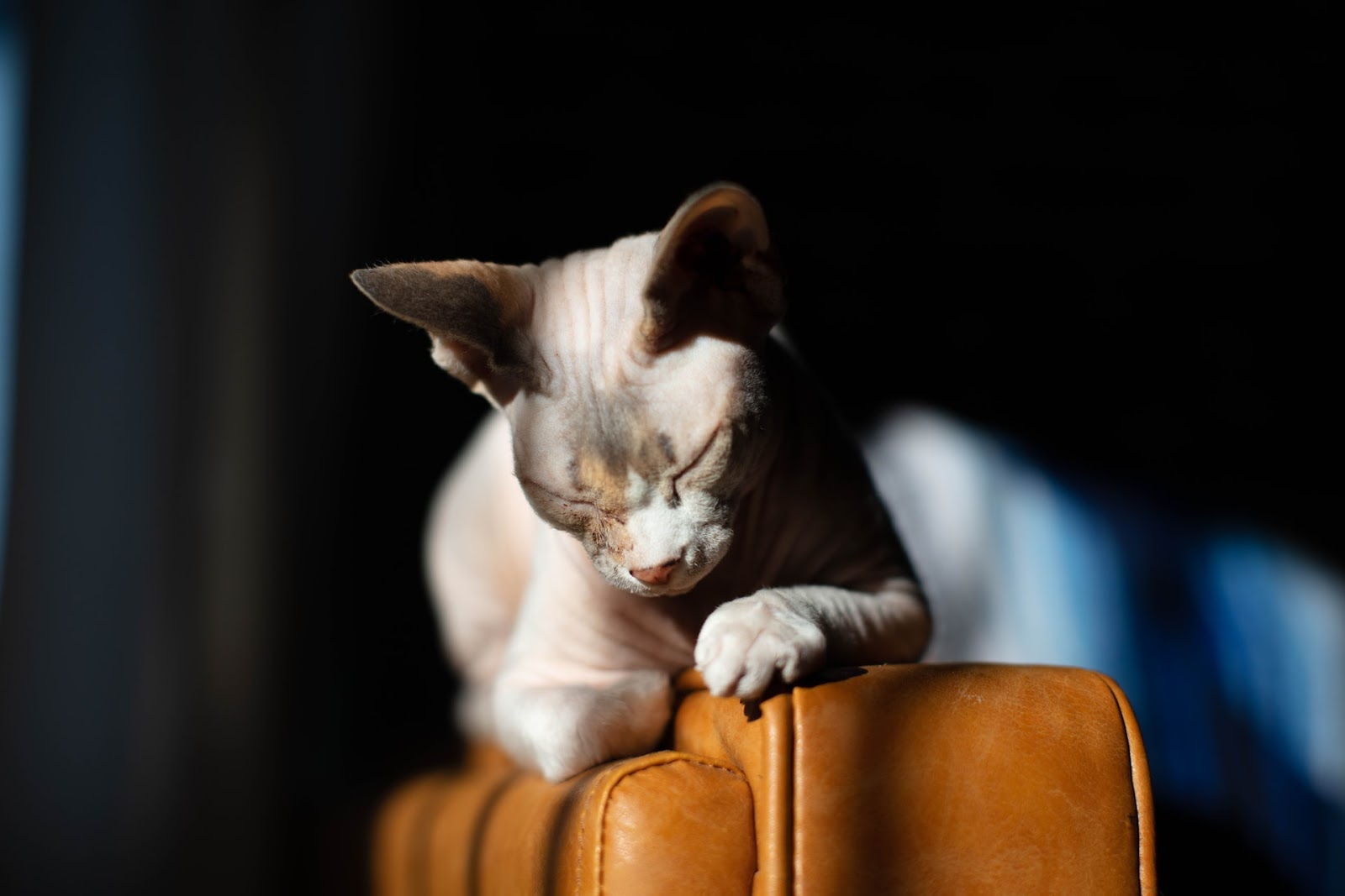 A hairless test rests on the arm of a chair, its eyes closed against the sun.