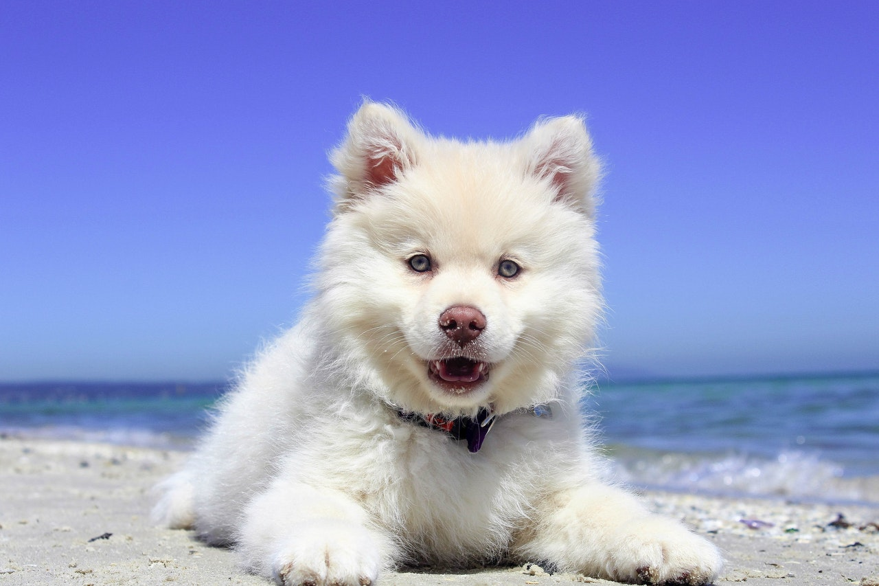 A very fluffy white puppy with bright blue eyes and a brown nose lays in the sand of a beach near the water. The sky behind the dog is blue and cloudless.