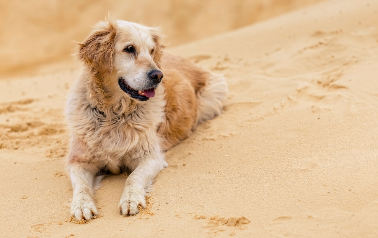 An older Golden Retriever lays on a sandy dune. It looks to the right of the frame with its tongue hanging out. There are marks on the sand where the dog has been playing.