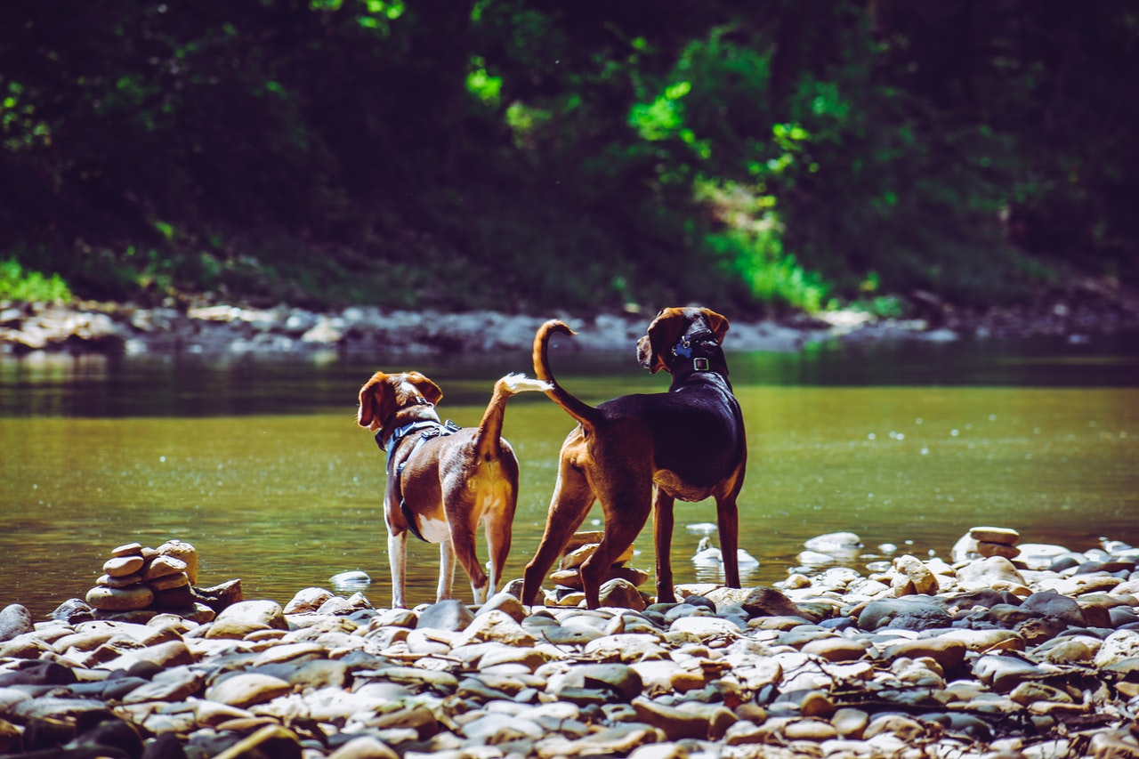 Two hound dogs stand on rocks surrounding a stream. On the opposite side of the stream is an incline covered in plant life. The water of the stream is lit by the sun, turning it green.