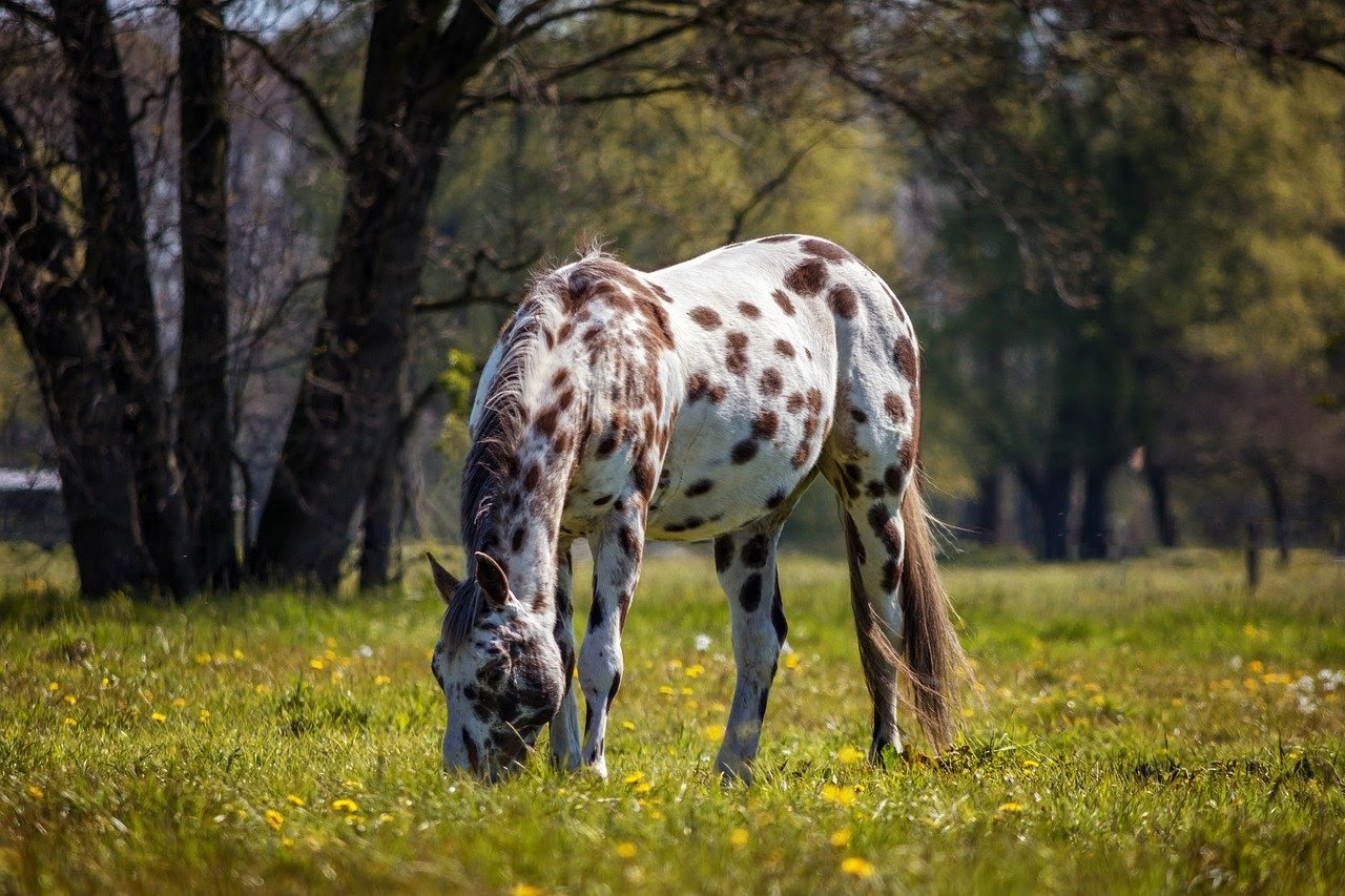 An appaloosa horse grazes in a field.