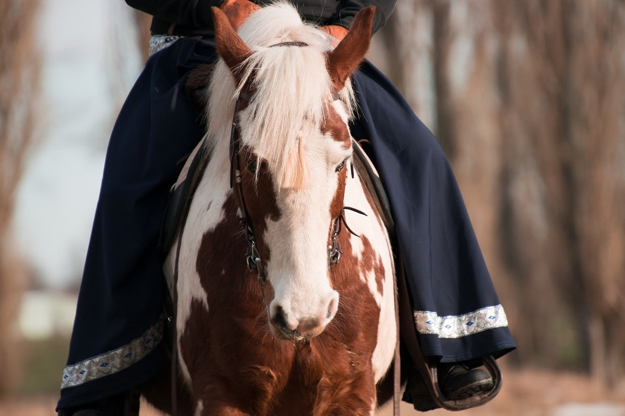 A person in long flared blue pants rides a brown and white pinto horse.