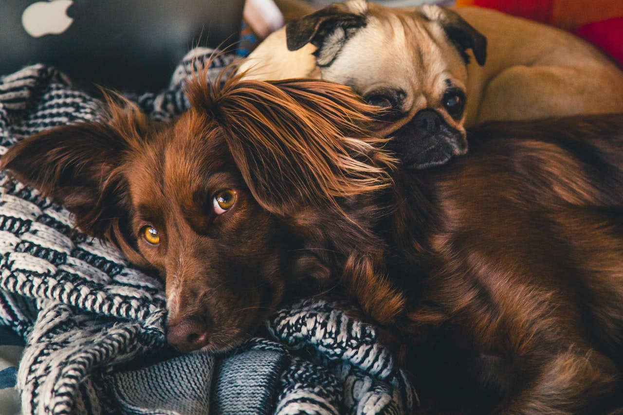 A brown, long-haired dog with floppy ears lays blankets with a Pug snuggled on its shoulder. Behind the pair is the back of an Apple brand laptop. They lay on a white and navy woven blanket.