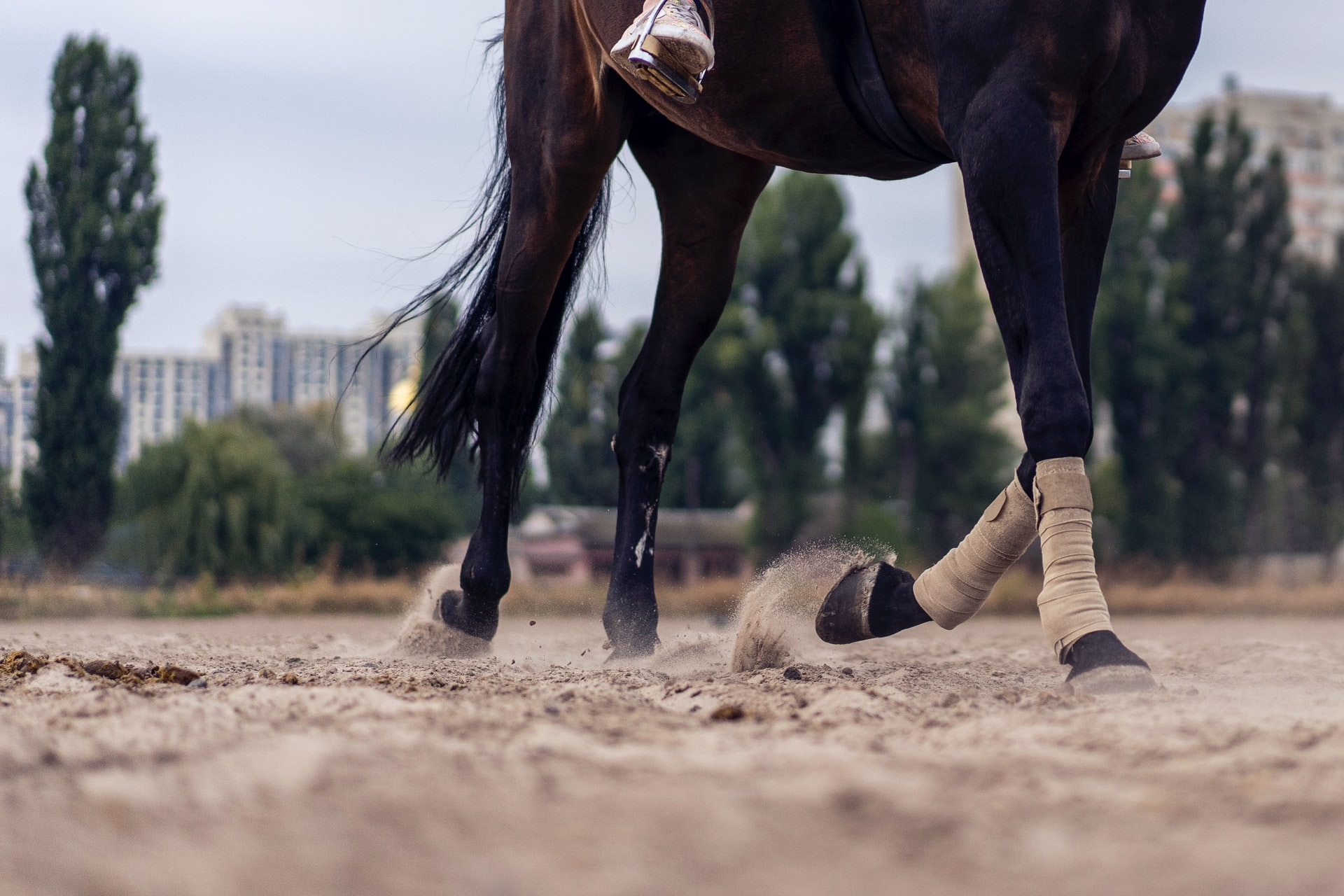 A horse in a training ring, bottom half showing with its legs in motion.