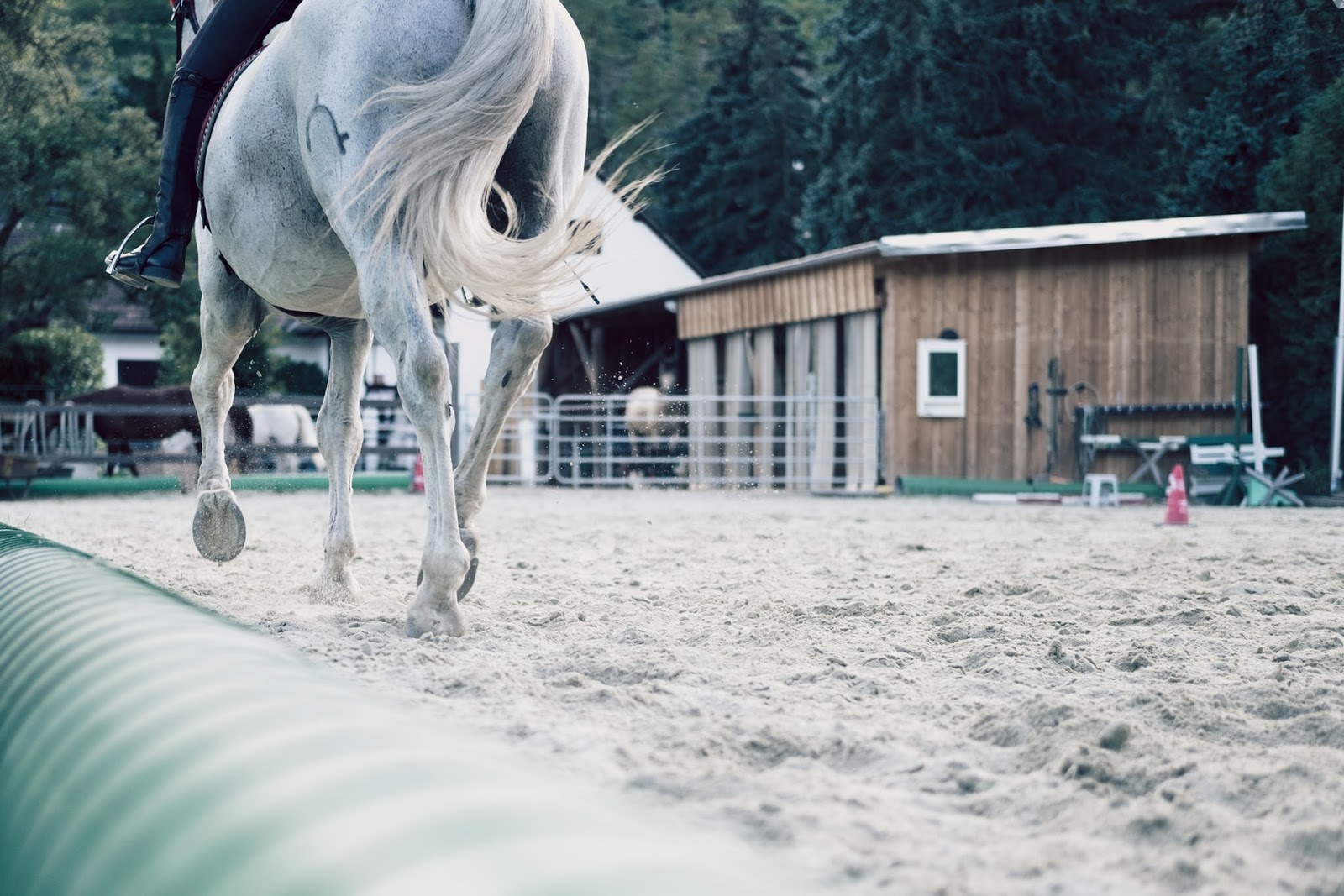 A white horse from the back, you can't see its head. It trots with its rider in a training ring.