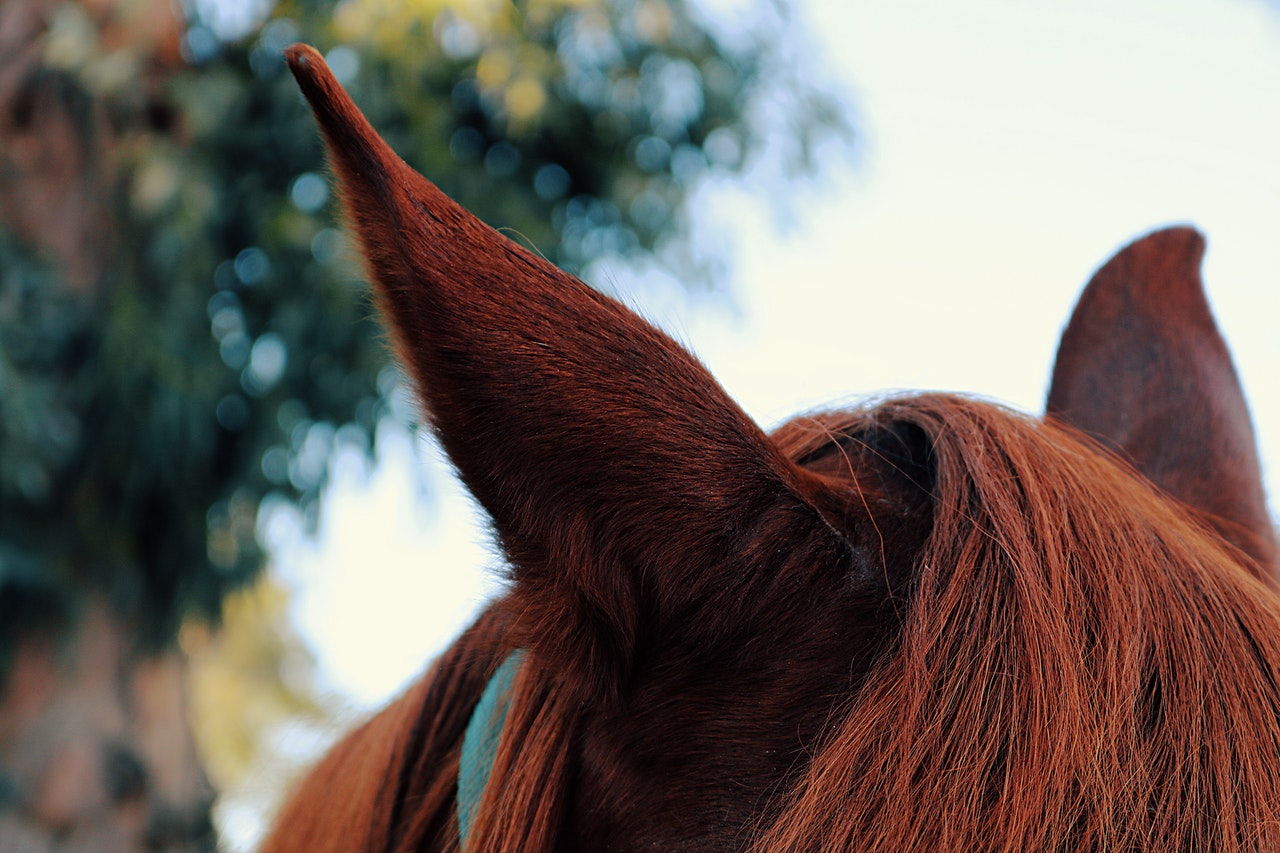 Afraid of Equine Ear Fungi? How to Identify and Treat it at Home