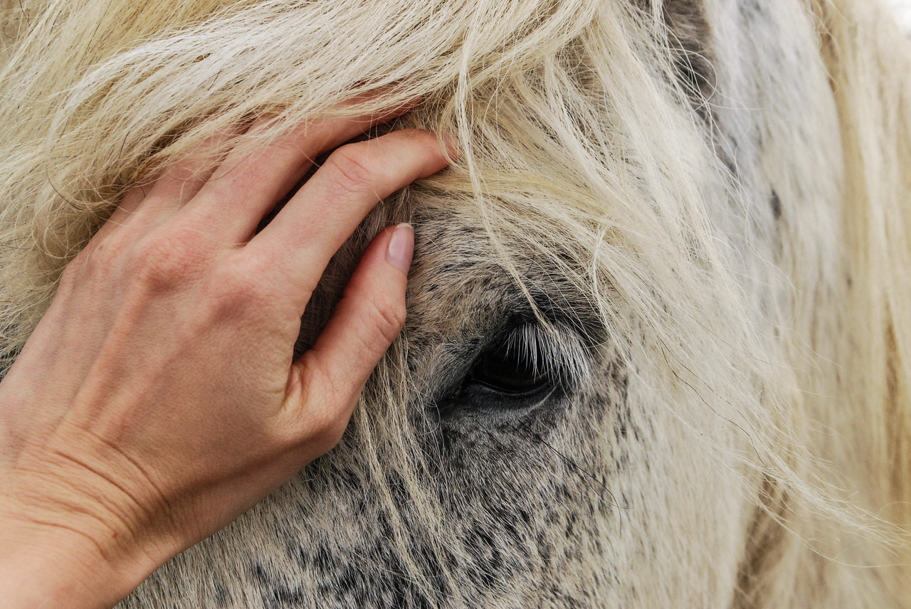 A close up showing the face of a dappled grey horse with a white mane. A human hand rests between the horse's eyes.