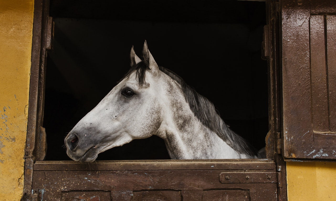 A white horse with grey markings and a black mane pokes its head out from a double door stall.
