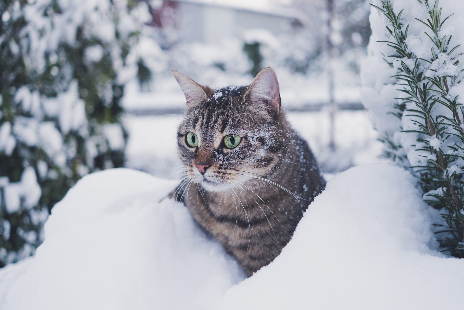 A tabby cat with green eyes, sits in a small snowpile.