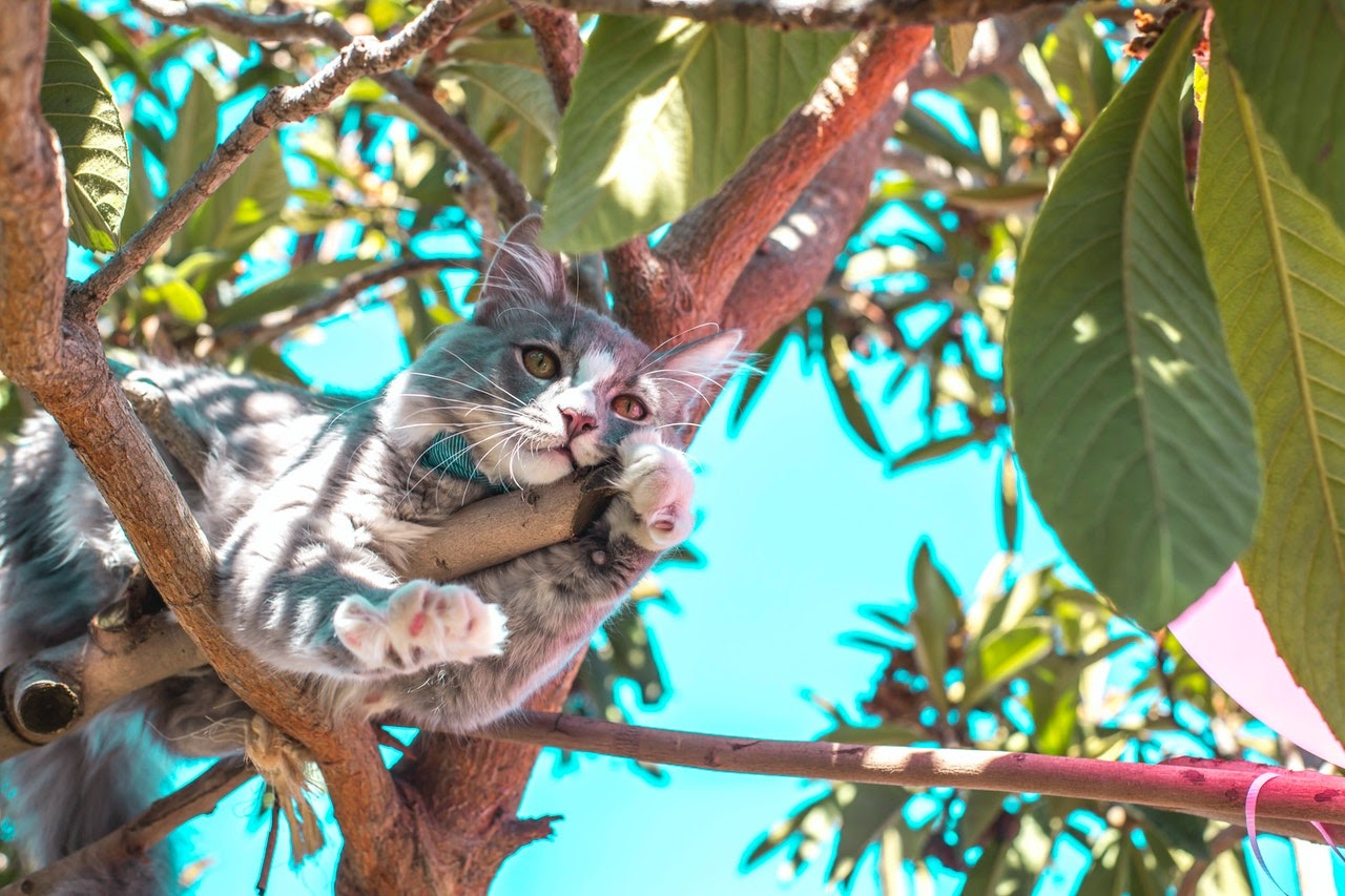 A gray and white cat rests in a tree.