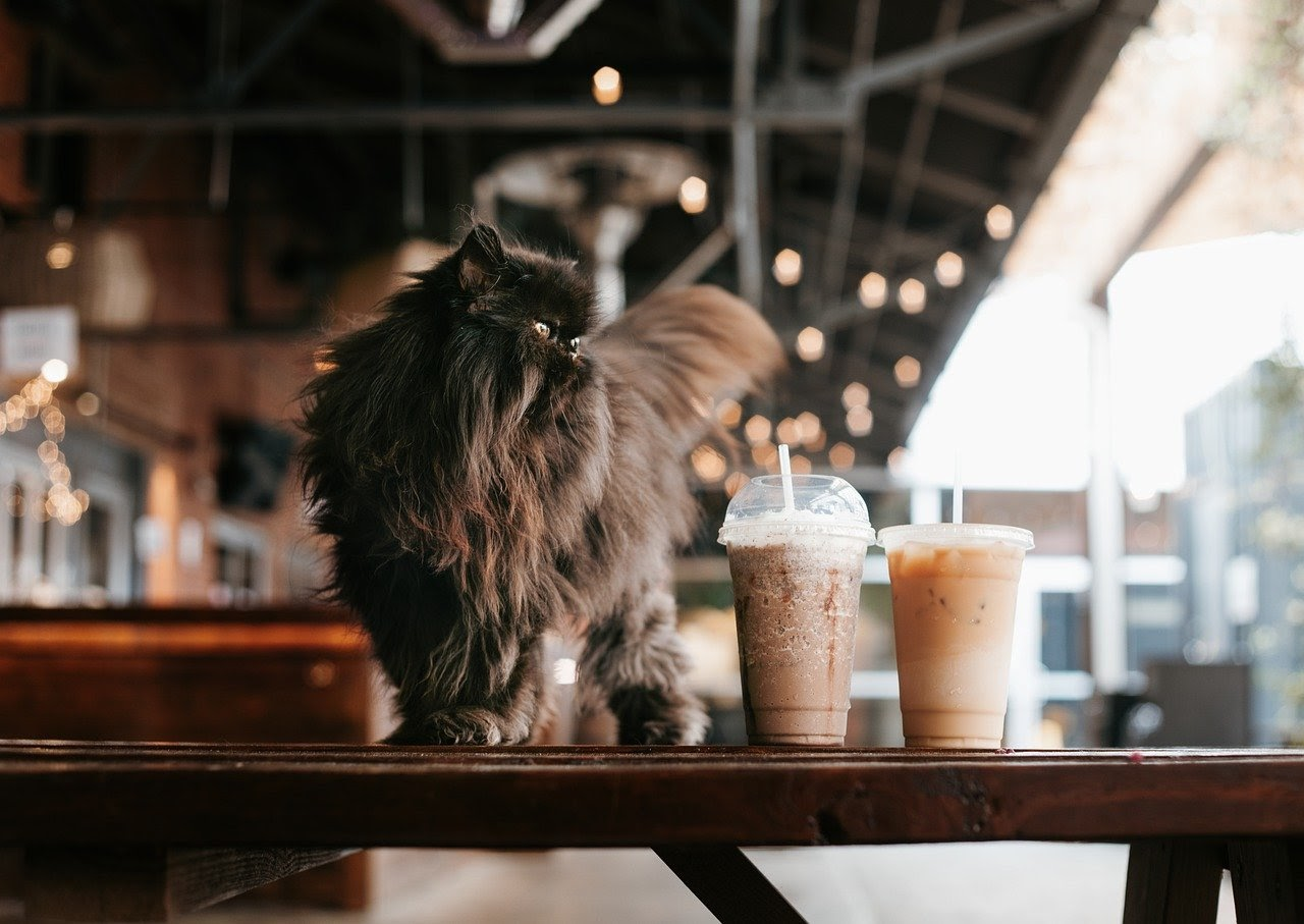 A flat-faced long haired black haired cat stands on a counter next to two iced coffees.