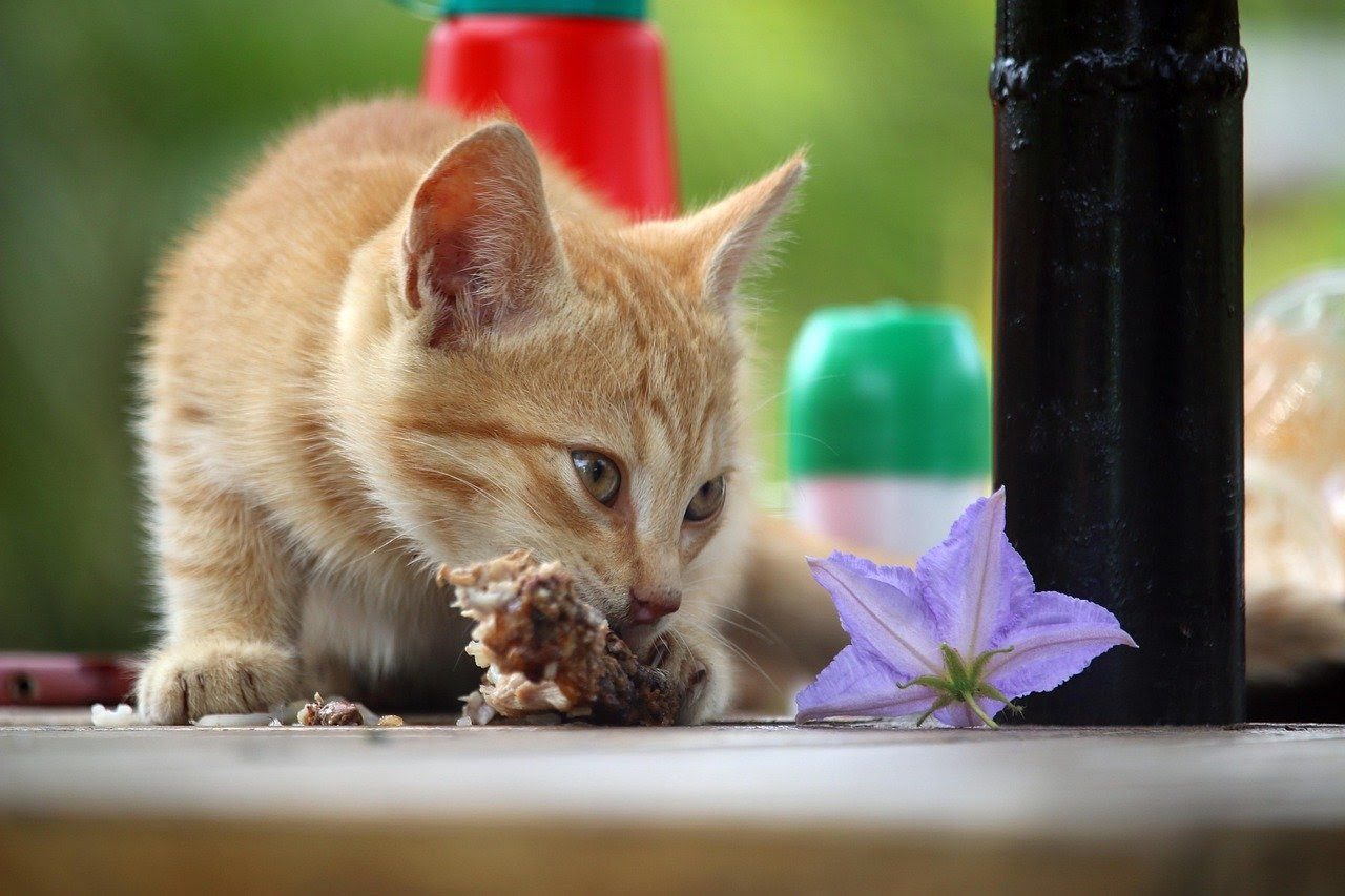 A small orange cat nibbles on a piece of meat. A purple flower next to them.