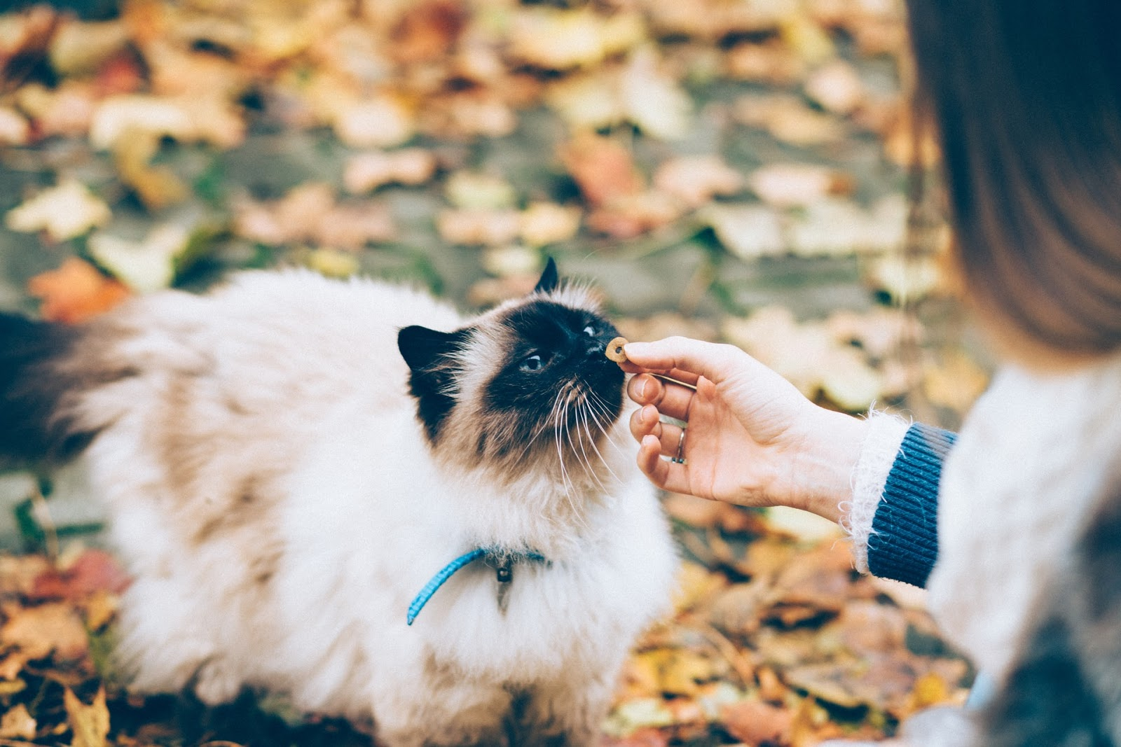 A long-haired Siamese cat sniffs at an offered treat from a woman's hand.