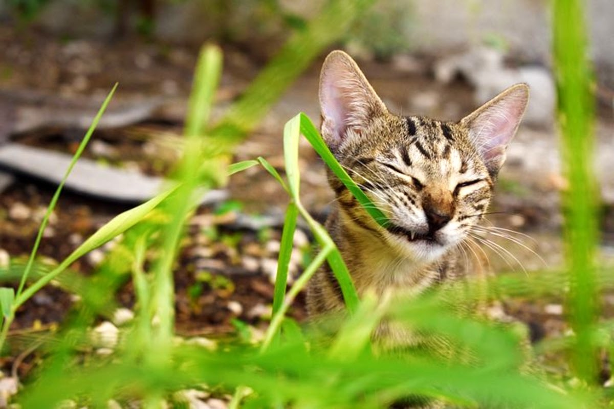 cat chewing on grass
