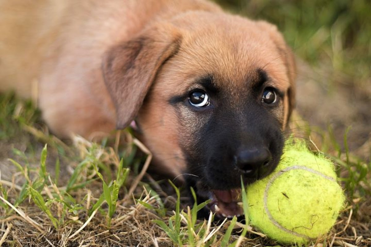 dog chewing on tennis ball outdoors
