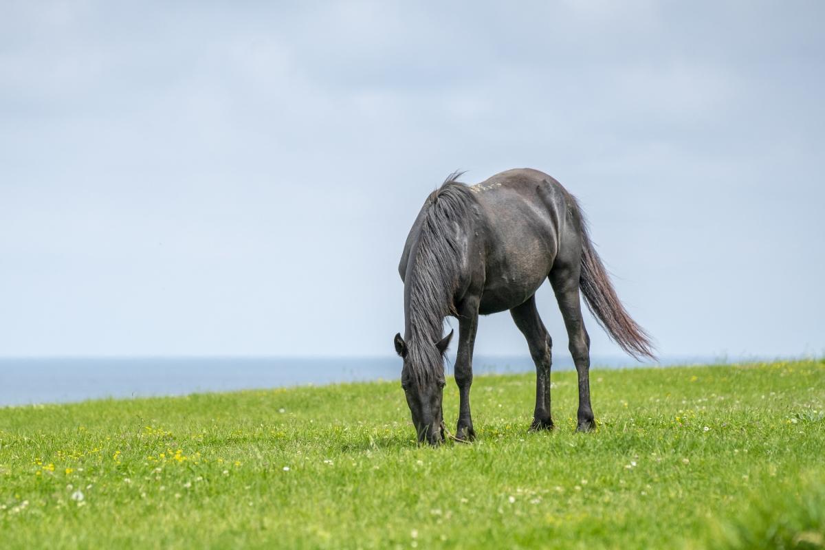beautiful gray horse grazing