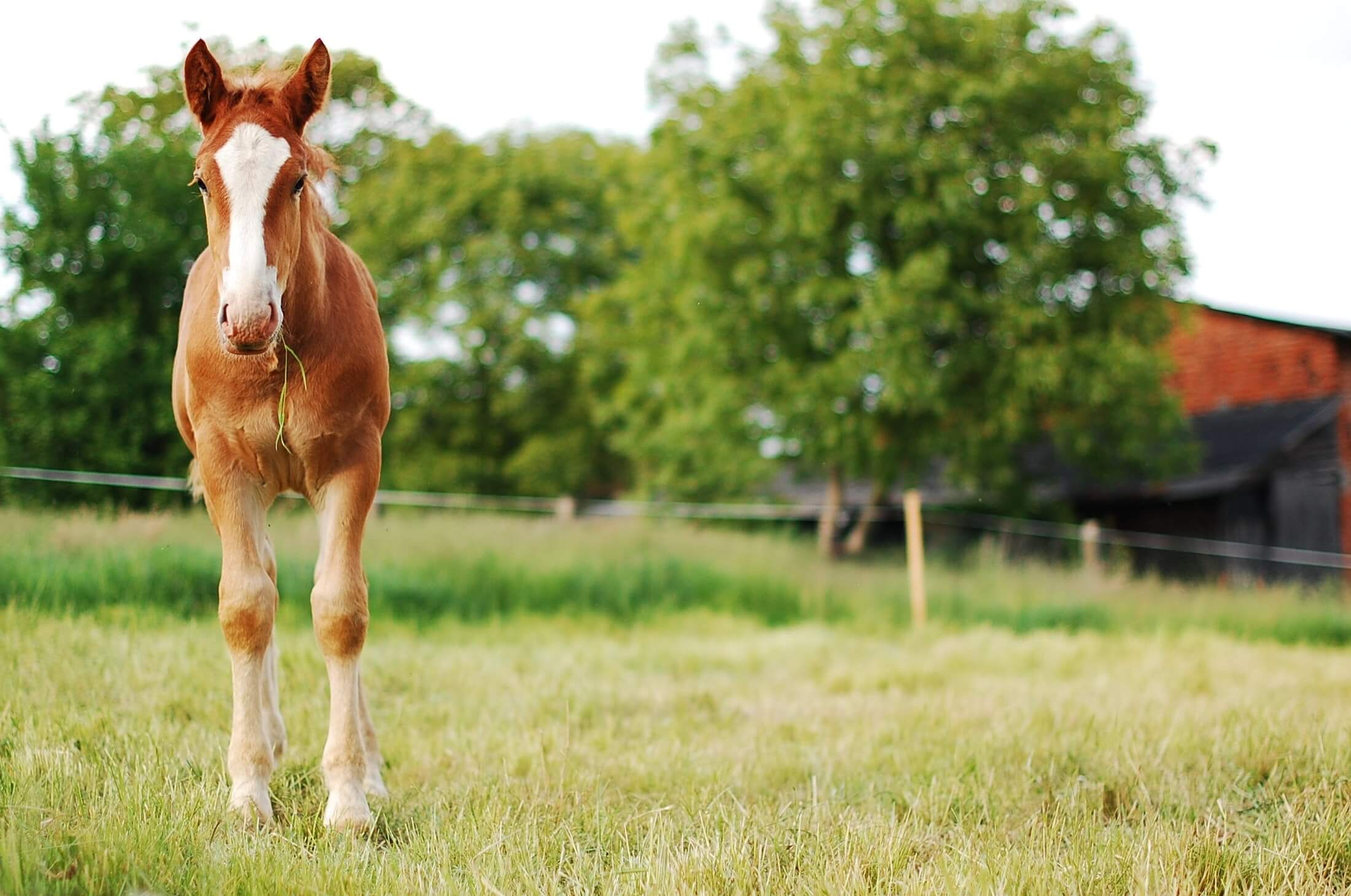 A young light brown horse with a large white area that reaches between the eyes down to the nose eats some grass in a field.