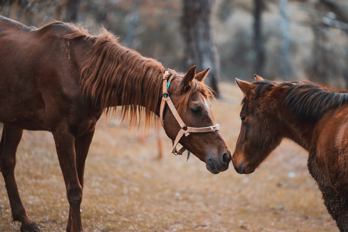 A larger brown horse with a harness touches noses with a smaller brown horse.