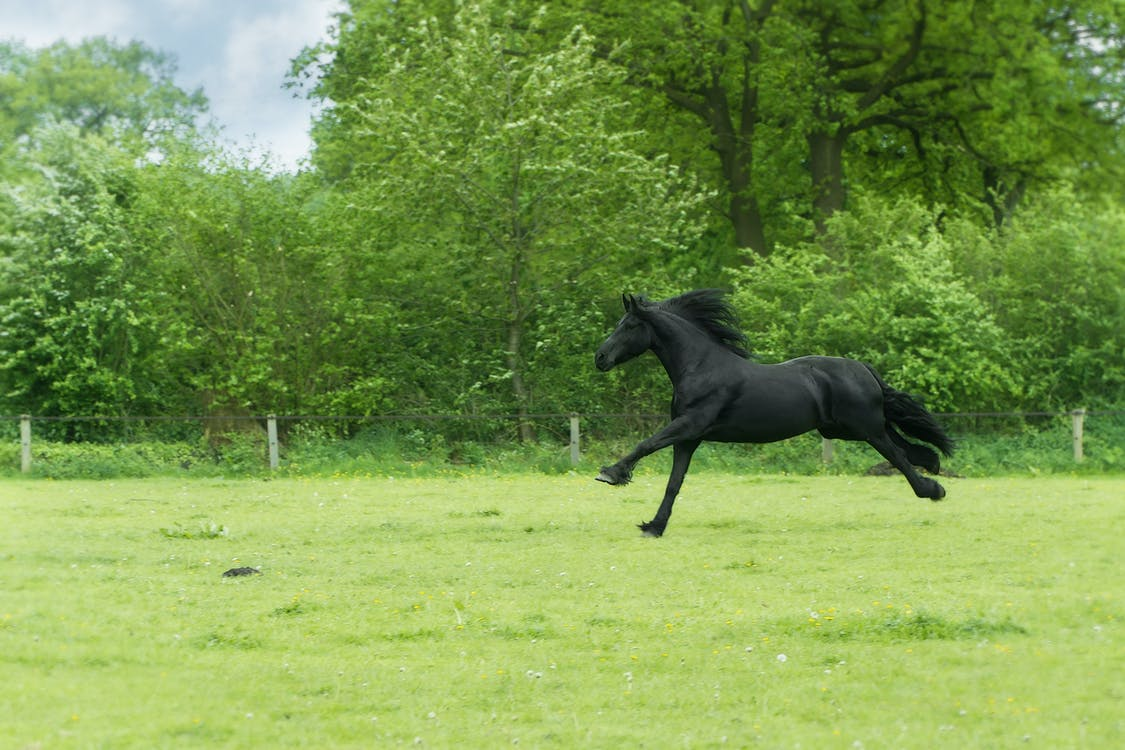 A young black horse is galloping through a green field.