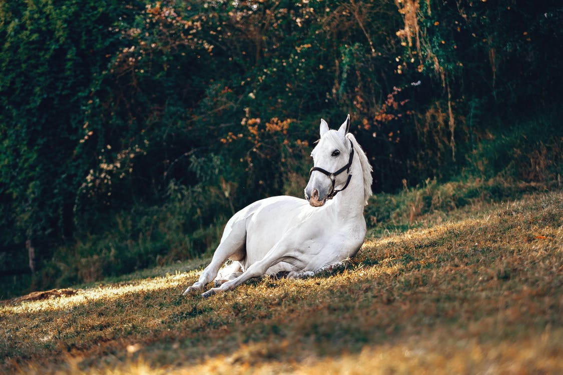 A white horse with a black harness is laying on a grassy area near some trees and bushes.