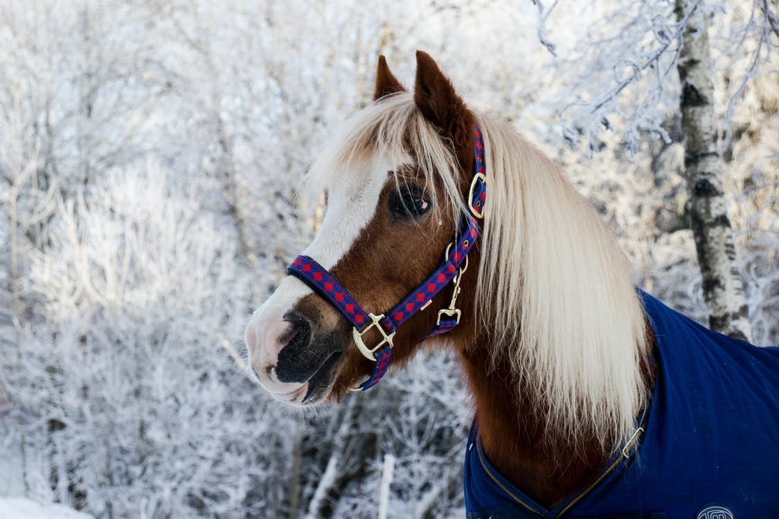 A brown and white mini horse with a blonde mane, blue coat, and pink and blue harness stands in a snowy setting.