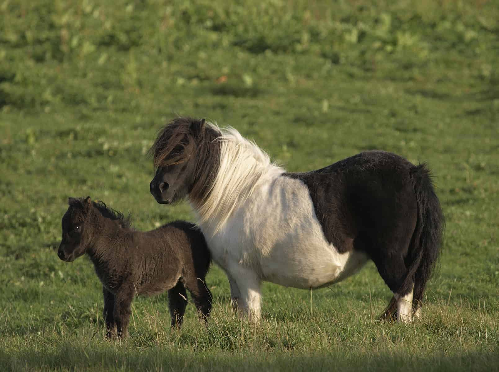 a mini horse and a baby mini horse stand together in a field.