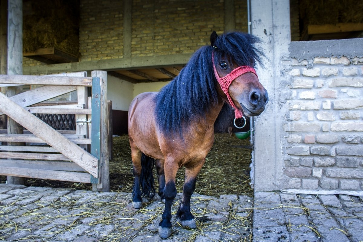A brown mini horse with a black mane and a red harness stands on cobblestone.