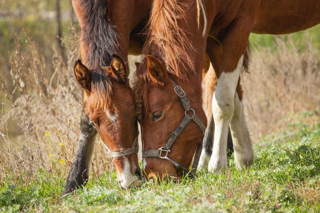 Two brown horses are bent over next to one another grazing in a meadow.
