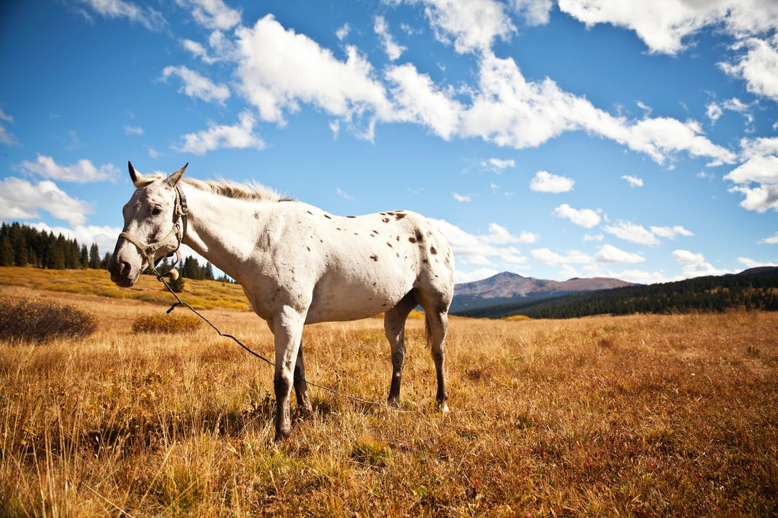 A white spotted horse stands in a field.