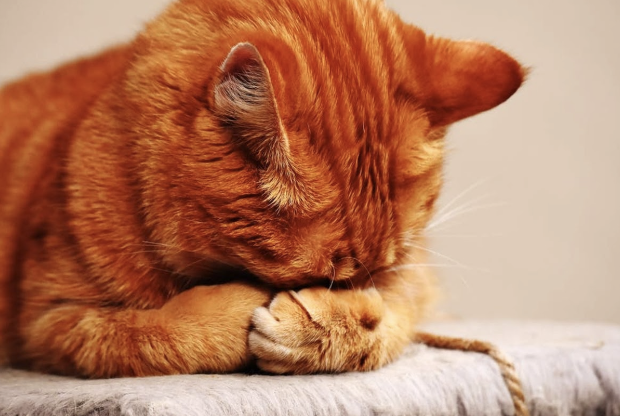orange cat hiding its face in its paws