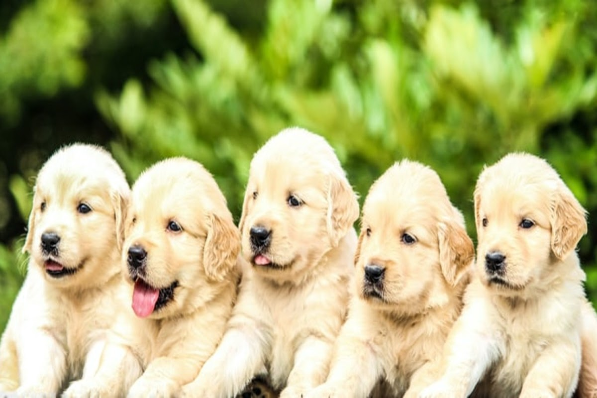 five fuzzy golden retriever puppies