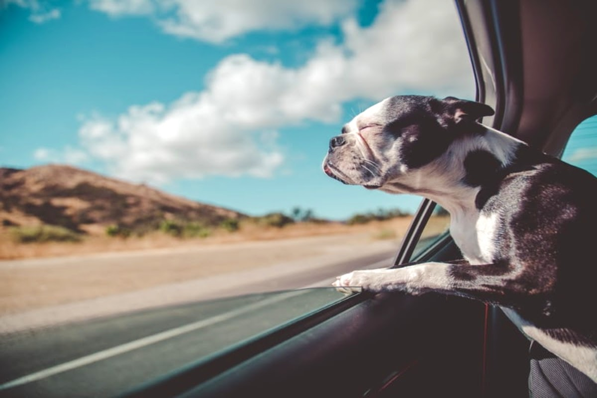 black and white french bulldog sticking its head out the car window