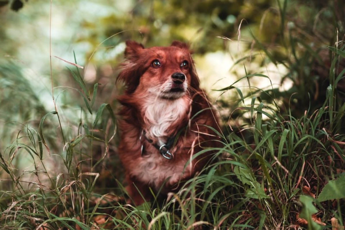 dog with long red brown fur in tall grass