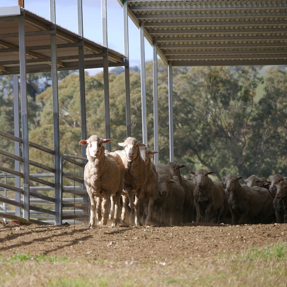 sheep leaving the yard after a drench treatment
