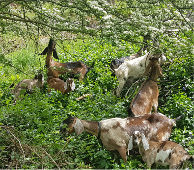 using goats for weed control