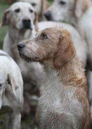 The Beaufort Hunt Hounds