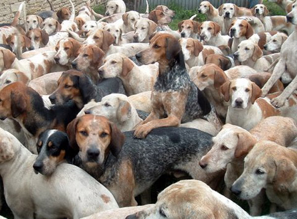 Lots of Beaufort Hounds