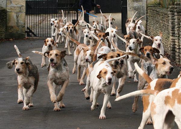 The Beaufort Hunt Happy Hounds